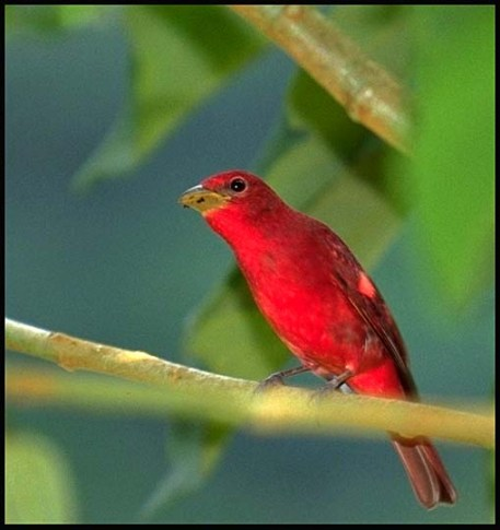 arenal-red-bird
